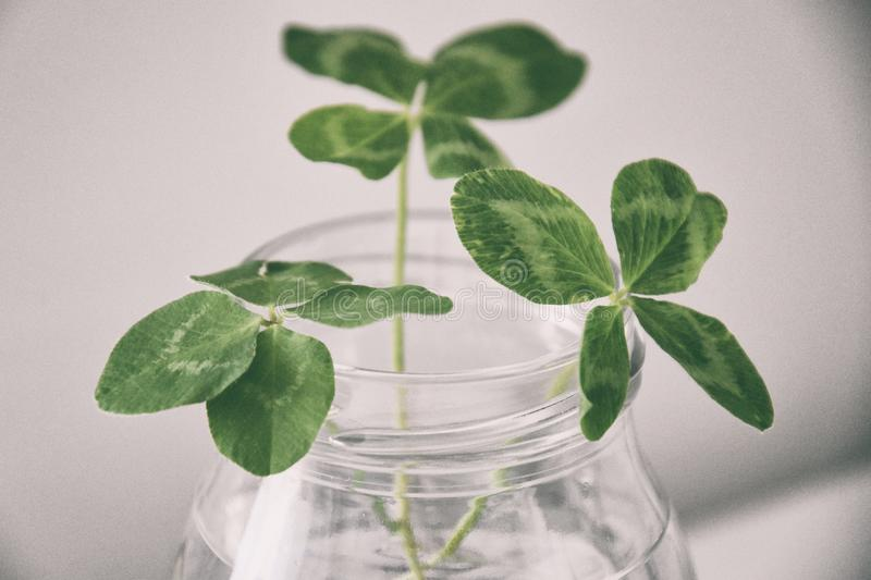 a bouquet of l field four-leaf clovers in a small vase on a light smooth background royalty free stock photography
