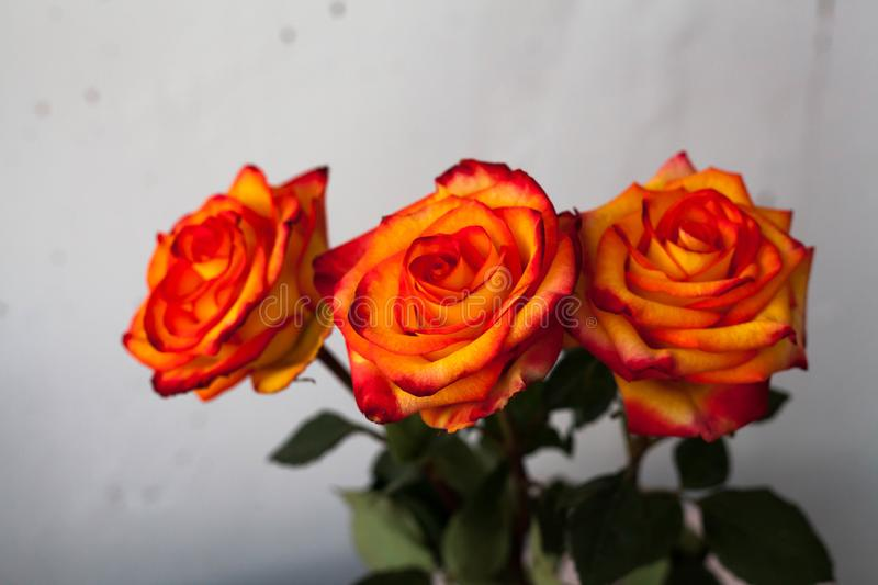 A bouquet of beautiful fresh bright orange roses with a red tinge royalty free stock photography