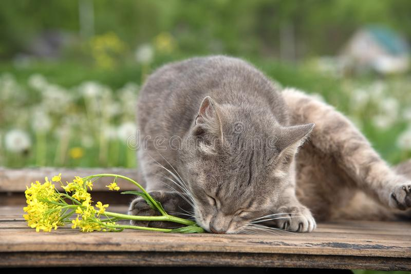A bouquet of beautiful little yellow blossoming flowers called a. In a pot decorated with wooden twigs and a cat on a table amid a green meadow in summer stock photography