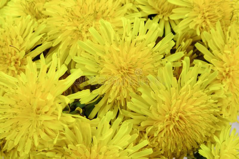 A bunch of beautiful dandelions flowers background. Springtime nature. stock photo