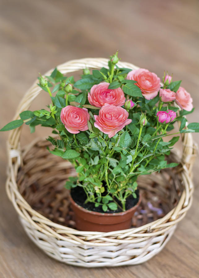 Bouquet of beautiful roses in a wooden basket royalty free stock photography