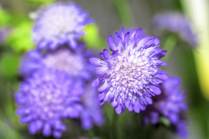 Bouquet Of Tender Blue-violet Flowers Stock Image - Image ...