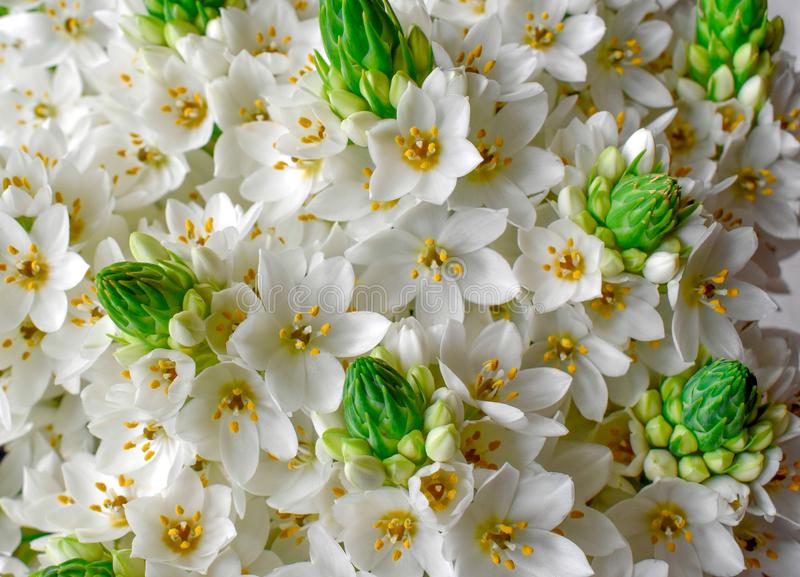 Bouquet beautiful white snowdrops Ornithogalum royalty free stock photos