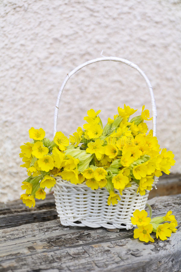 Bouquet of beautiful wild primroses flowers in a white basket royalty free stock photography