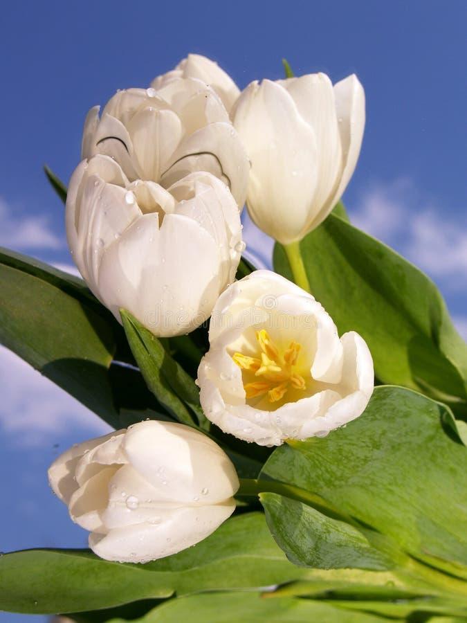 Bouquet blanc de tulipe photographie stock libre de droits
