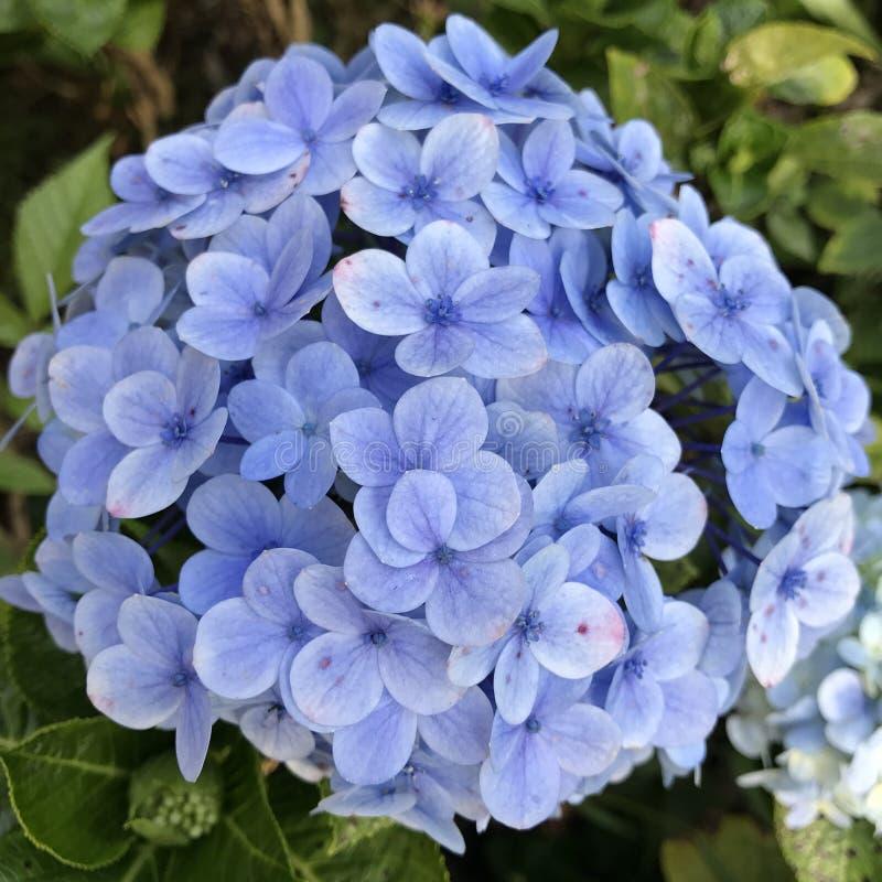 Bouquet bleu ! photographie stock libre de droits