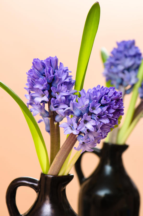 Blossoming To Hyacinths In A Vase Stock Images