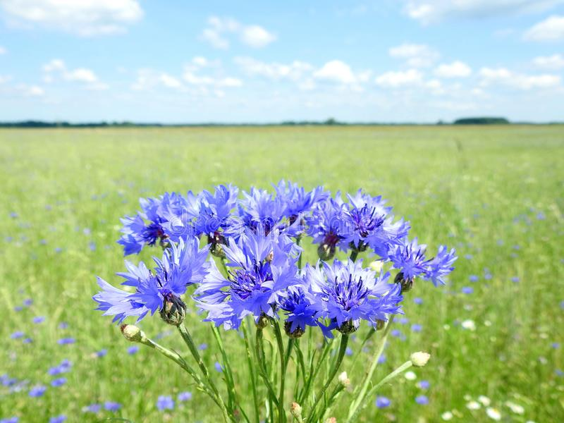 Bouquet of blue cornflowers, Lithuania royalty free stock photography