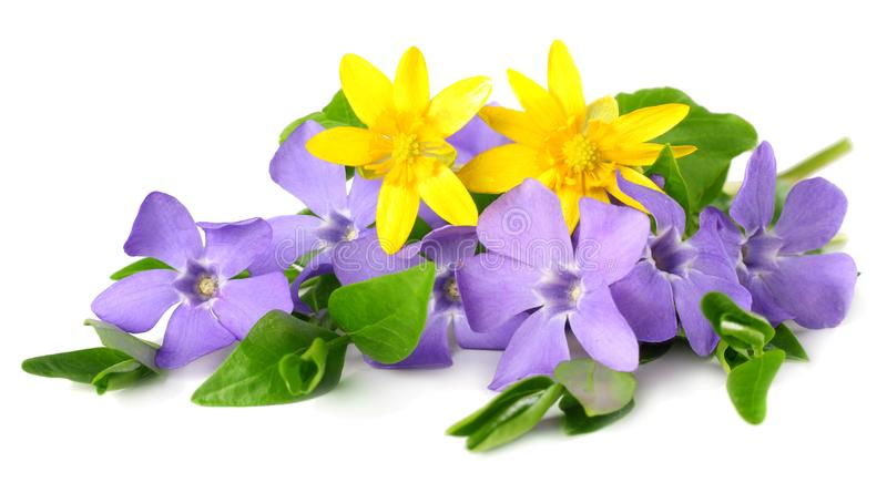 Bouquet of blue periwinkle with green leaves isolated on white background. Vinca minor stock photo