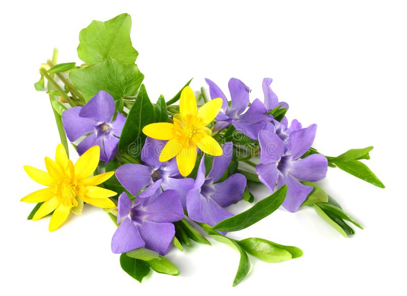 Bouquet of blue periwinkle with green leaves isolated on white background. Vinca minor stock images