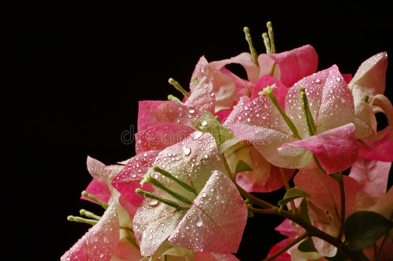 Bouquet of bougainvillea royalty free stock image