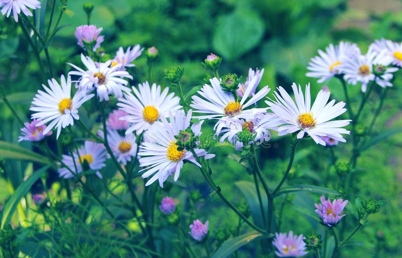 A bouquet of bright beautiful daisies. Chamomile flower royalty free stock image