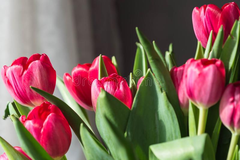 Bouquet of bright pink tulips on a sunny day. Closeup royalty free stock images