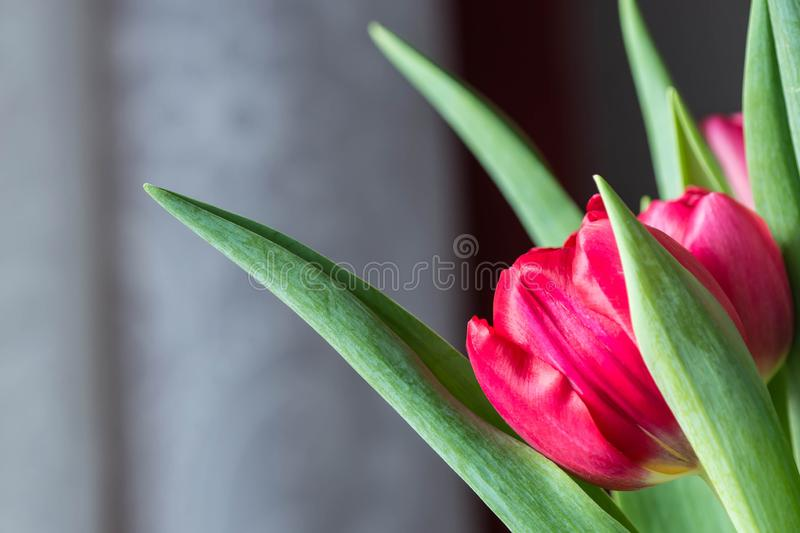 Bouquet of bright pink tulips on a sunny day. Closeup royalty free stock photography