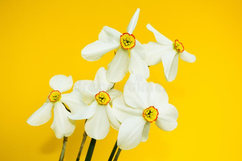 Bouquet of bright white narcissus on a yellow background, close-up, concept. daffodil stock photo