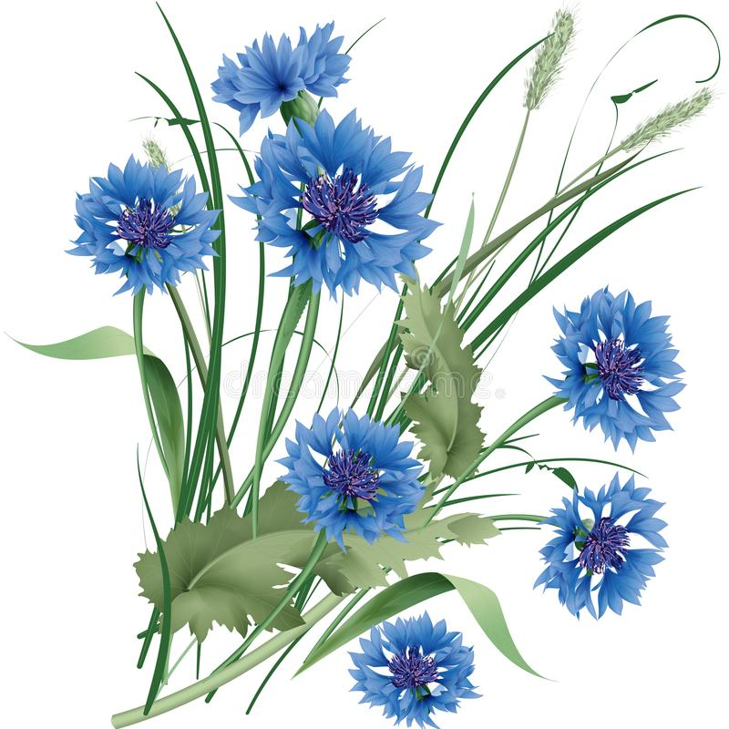 Bouquet bunch of blue cornflowers wildflowers with green leaves. Vector illustration vector illustration