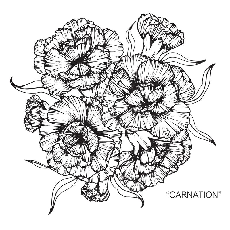Bouquet Of Carnation Flower Drawing And Sketch Stock