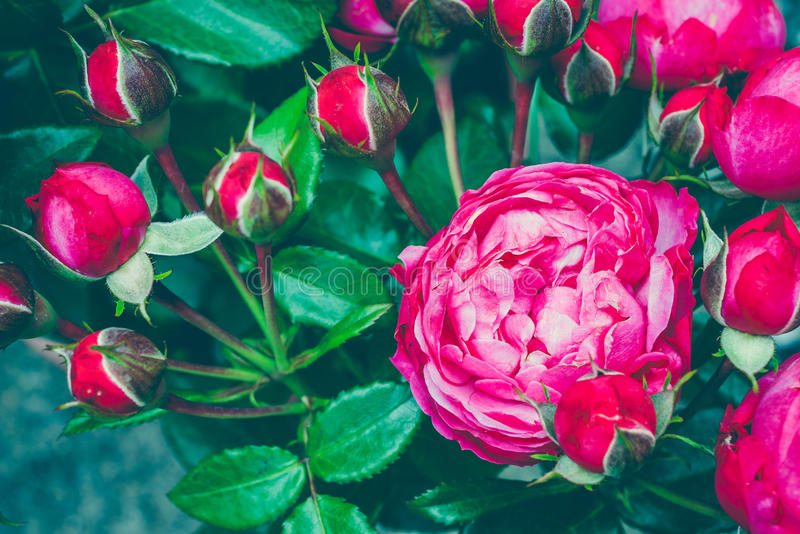 Bouquet of centifolia rose with foliage. Natural flower. Soft focus. Copy space. Free place for text. One blossoming red stock photo