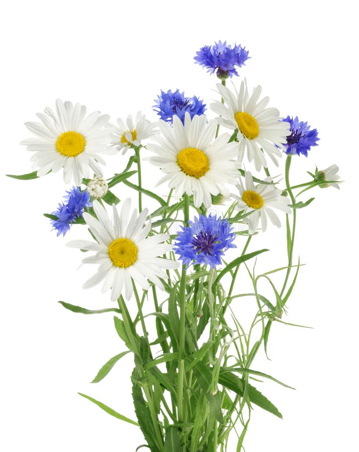 Bouquet of chamomile and cornflowers without shadow royalty free stock photos