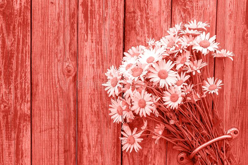 Bouquet chamomile flowers in door handle on old wooden background toned trendy coral color of the year 2019. Copy space Template royalty free stock photos