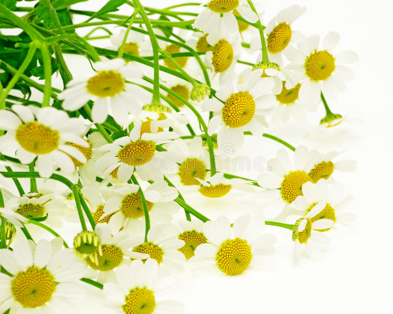 Bouquet of of chamomile stock image