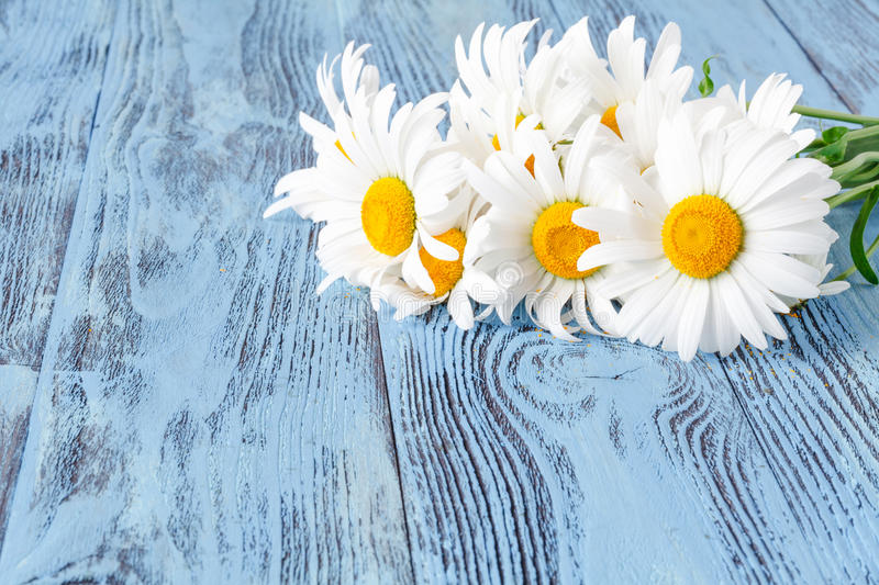 Bouquet of chamomiles on blue vintage wooden background stock images
