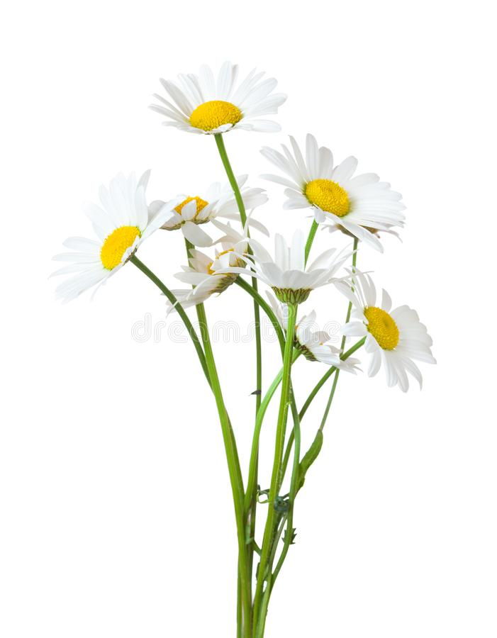 Bouquet of Chamomiles stock images
