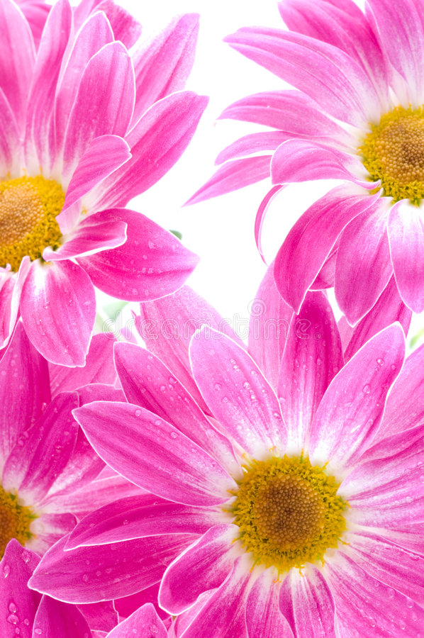 Download Bouquet of chrysanthemums stock photo. Image of joss, detail - 6958422