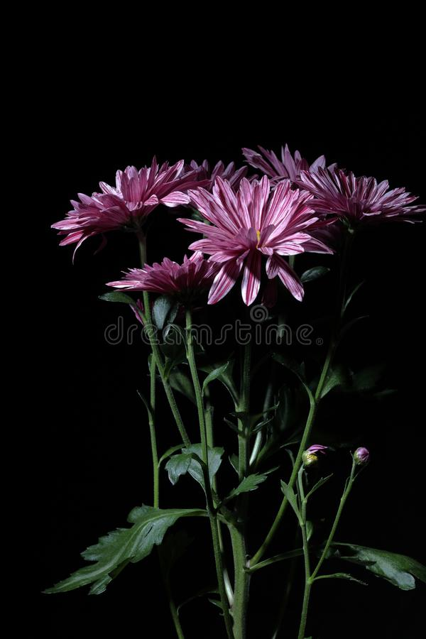 Bouquet of chrysanthemums with contrast lighting on a black background. Chrysanthemums with motley lilac petals on a black background stock image