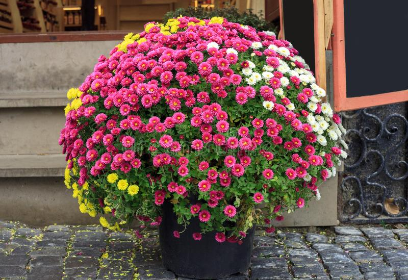 Bouquet of colorful chrysanthemums small flowers in pot. Bouquet of colorful chrysanthemums small flowers growing in pot, potted, plant, garden, gardening stock photography