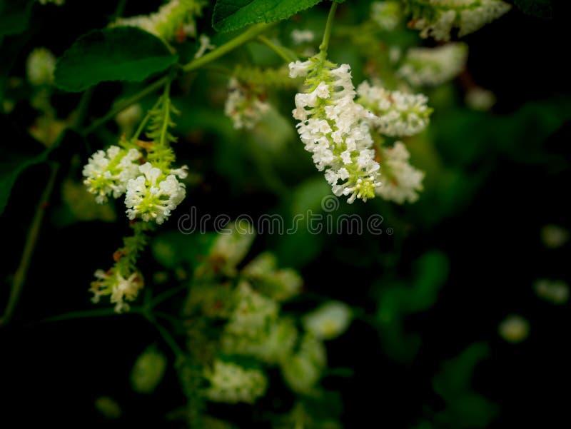 Bouquet d'accrocher de fleurs de Bush de papillon photos stock