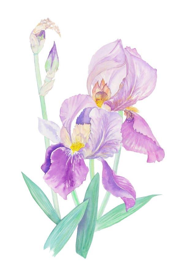 Bouquet d'aquarelle d'iris illustration stock
