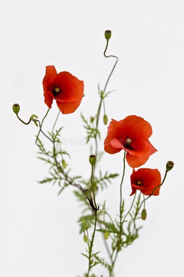 Bouquet d'isolement des pavots rouges