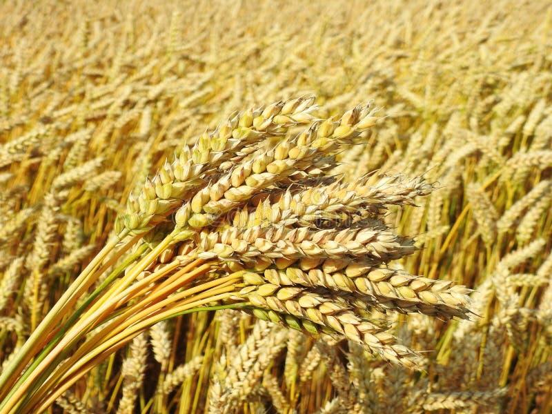 Bouquet d'usine de blé photographie stock libre de droits