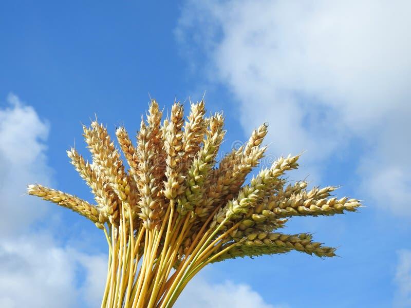 Bouquet d'usine de blé image libre de droits
