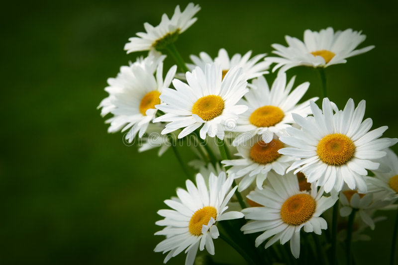Download Bouquet of daisy stock photo. Image of leaf, summer, stamen - 4069788
