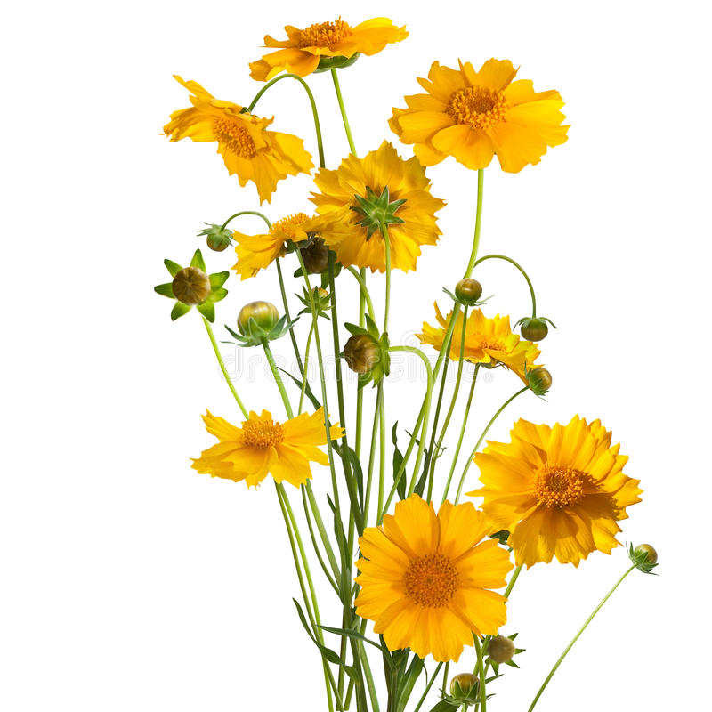 Bouquet of the daisy flowers, easter colors, isolated. Bouquet of daisy flowers, easter colors, isolated on white stock photography