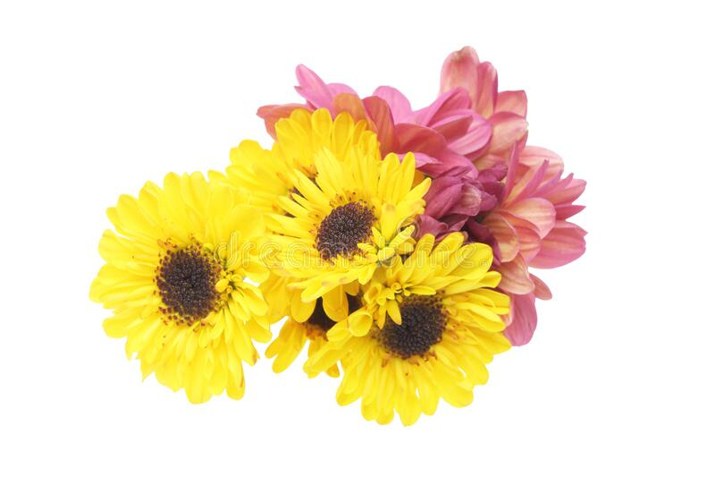 Bouquet de crisantemo en un fondo blanco foto de archivo libre de regalías