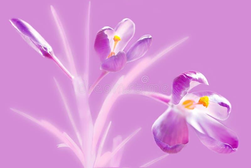 Bouquet de dos flores de croco púrpura con almirez amarilla y un broche fotografía de archivo