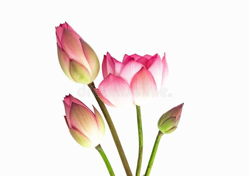 Bouquet de fleur de Lotus d'isolement sur le fond blanc photos libres de droits