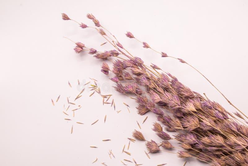 Bouquet de foyer sélectif des fleurs sèches sur le fond blanc Fleur brouillée et molle d'herbe photos stock
