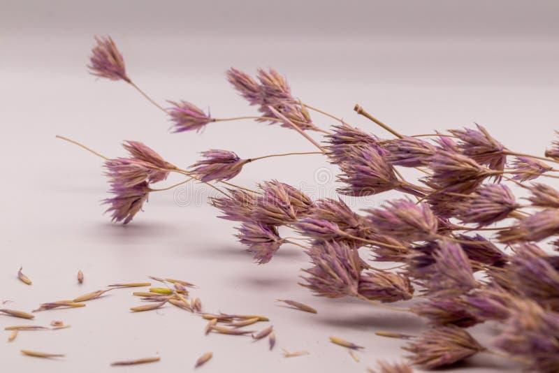 Bouquet de foyer sélectif des fleurs sèches sur le fond blanc Fleur brouillée et molle d'herbe photographie stock libre de droits