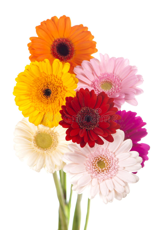Bouquet de gerbera de fleur de marguerite d'isolement photo libre de droits