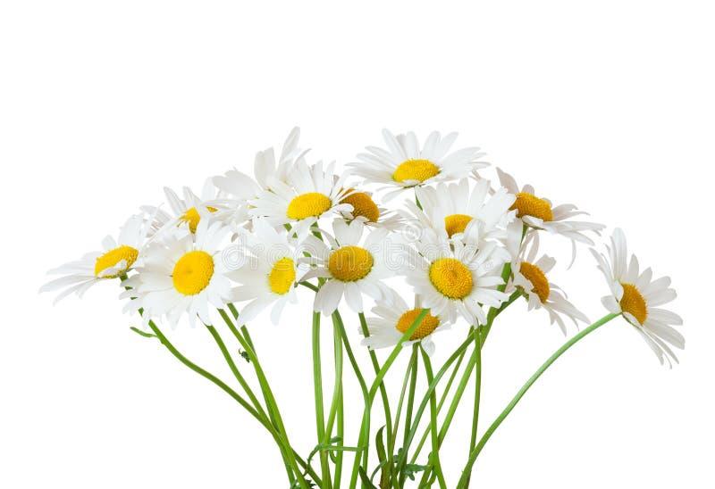 Bouquet de la marguerite des prés de camomilles d'isolement sur un fond blanc images stock