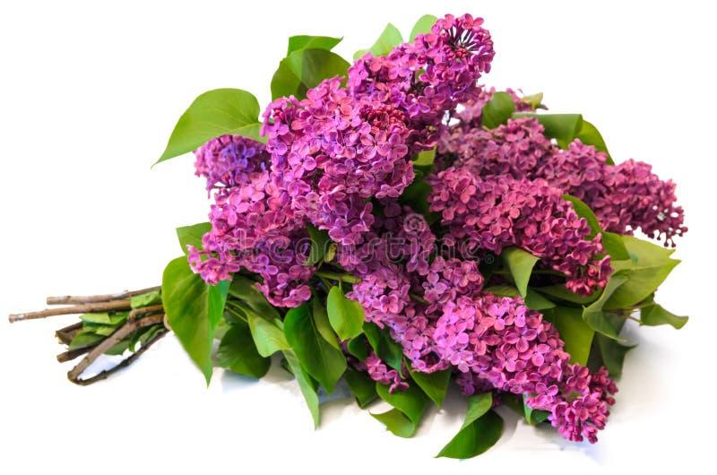 Bouquet de lilas commun de pourpre (syringa) d'isolement sur le backgrou blanc photos libres de droits