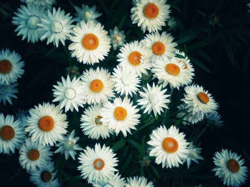 Bouquet de marguerites images stock