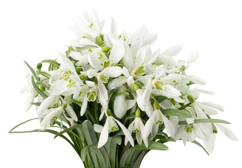 Bouquet de perce-neige d'isolement sur un fond blanc image libre de droits
