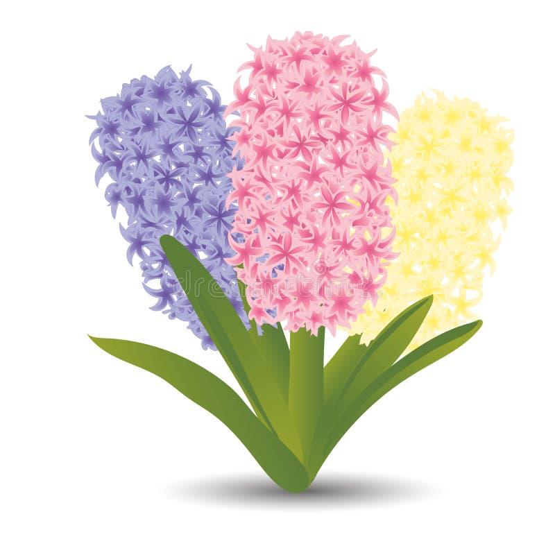 Bouquet de trois belles jacinthes avec l'effet d'un dessin d'aquarelle Fleurs d'isolement sur le fond blanc Illustr de vecteur illustration de vecteur