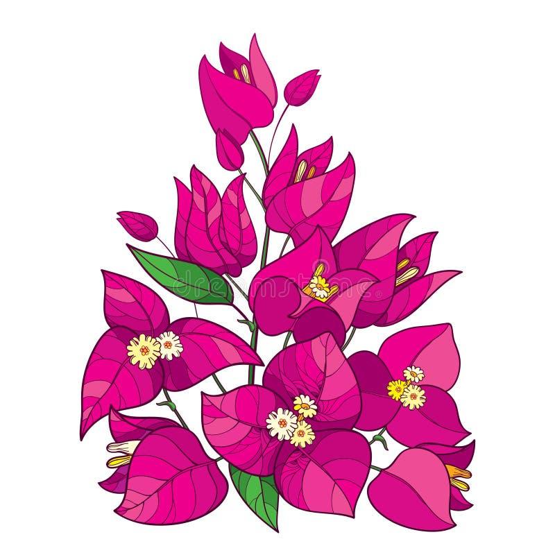 Bouquet de vecteur de fleur de bouganvillée ou de Buganvilla d'ensemble avec le bourgeon dans le rose et la feuille verte d'isole illustration libre de droits