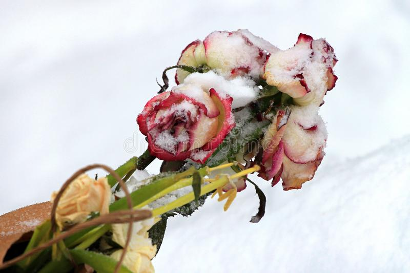 Bouquet of dead rose flowers in snow.  stock image